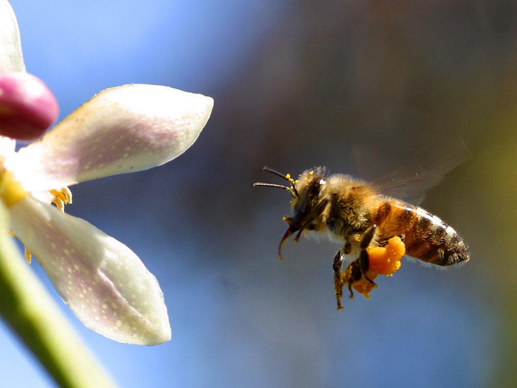 Best Bee Wallpapers